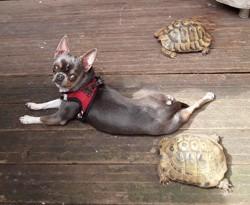 Opaline, chien Chihuahua