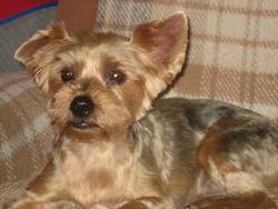 Open, chien Yorkshire Terrier