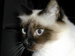 Ophélie, chat Birman