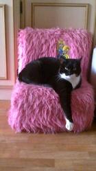 Ophelie, chat Européen