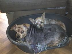 Ophelie Et Osaka, chien Yorkshire Terrier