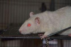 Opi, rongeur Rat