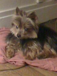 Opium, chien Yorkshire Terrier