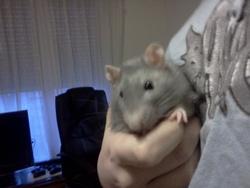 Opium, rongeur Rat