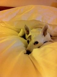 Opium, chien Jack Russell Terrier