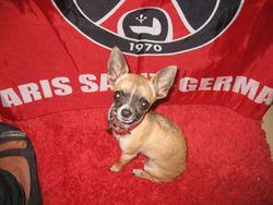 Opium, chien Chihuahua