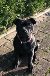 Opium, chien Staffordshire Bull Terrier