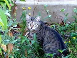Opphi, chat Gouttière