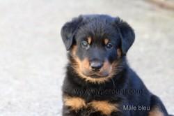 Oréo, chien Beauceron