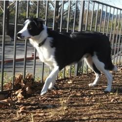 Oréo, chien Border Collie