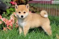 Oréo, chien Shiba Inu