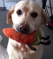 Ora, chien Labrador Retriever