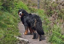 Orane, chien Bouvier bernois