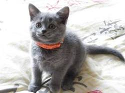 Orange, chat Chartreux