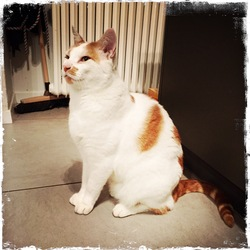 Orangino, chat Gouttière