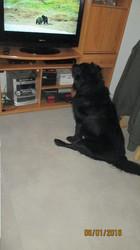 Orco, chien Labrador Retriever