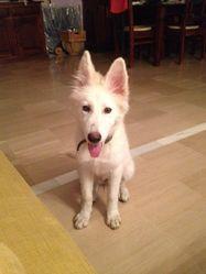 Orea, chien Berger blanc suisse
