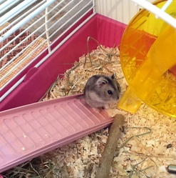 Orel, rongeur Hamster