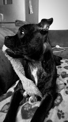 Oren, chien Staffordshire Bull Terrier