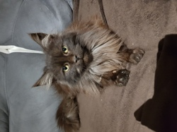 Oreo, chat Maine Coon