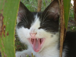 Oréo, chat