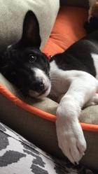 Oreo , chien Basenji