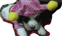 Oreo, chien
