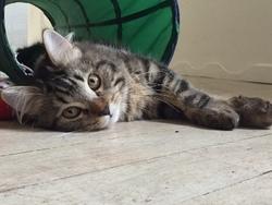 Oréo, chat Persan