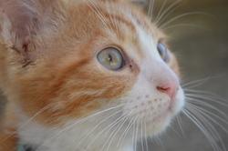 Oréo Le Roux, chat Européen