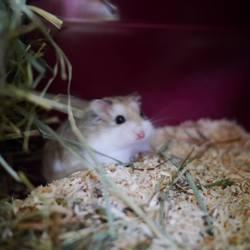 Ori, rongeur Hamster