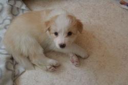 Oria, chien Border Collie