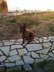 Orianne, chien Kelpie