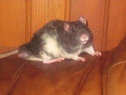 Orion, rongeur Rat