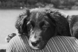 Orion, chien Border Collie