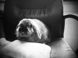 Orion, rongeur Lapin