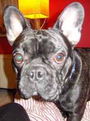 Orion, chien Bulldog