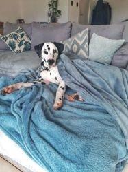 Orion, chien Dalmatien