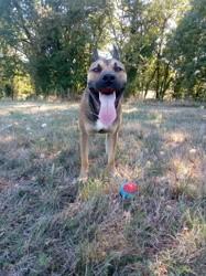 Orion, chien