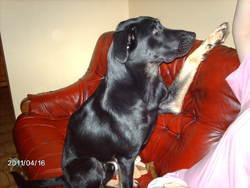 Orion, chien Beauceron