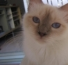 Orisi, chat Birman