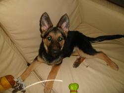 Orka, chien Berger allemand