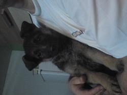 Orlane, chien Berger allemand