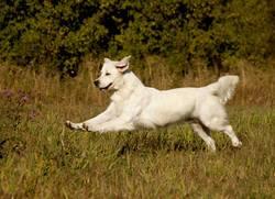 Orlane, chien Golden Retriever