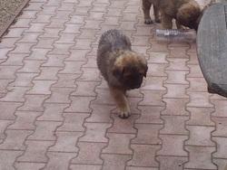 Orlanie , chien Leonberger