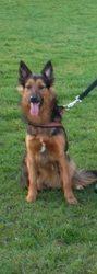 Orna, chien Border Collie