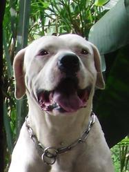 Oro, chien Dogue argentin