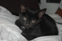 Orphé, chat Européen
