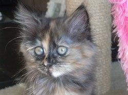 Orphéa, chat Européen