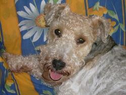 Orphée, chien Fox-Terrier