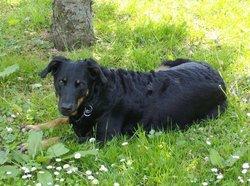 Orphée, chien Beauceron